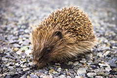 Baby Hedgehog (hoglet) found alive on the road (Joseph.M.) Tags: road baby animal carpet living colours vibrant live hedgehog alive showcase animalia mammalia chordata orphaned erinaceinae erinaceidae