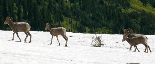 Wild Ram Crossing, Glacier National Park Montana