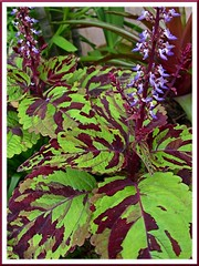 Coleus 'Careless Love' with flowering spikes, added to our garden in July 2008