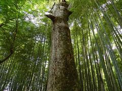 (Rosino) Tags: tree japan bamboo chusonji tokinaatx124