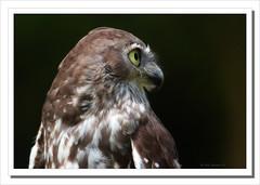 Barking Owl-4748 (Barbara J H) Tags: bird nature wildlife australia owl qld sunshinecoast australiazoo barkingowl beerwah australiannativebird birdsofaustralia ninoxconnivens specanimal wildlifeofaustralia captivebird barbarajh