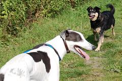 The odd couple (whitbywoof) Tags: dog pet greyhound pets love dogs mutt rats jodie sparkys mongrel sighthound rehomed retiredracer pedigree gilmour rescuedog crossbreed racinggreyhound exracer wgas woodgreenanimalshelter rehominganimaltelephoneservicerats rehominganimaltelephoneservice sparkysvorjaz vorjaz httpwwwratsanimalrescuecouk httpwwwwoodgreenorguk