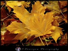 Fall...ing In Love : Being together...forever ! ( Kaaviyam Photography) Tags: friends color colour tree art fall love nature beautiful beauty leaves yellow canon photography golden leaf interesting colorful unique being powershot m g5 together canong5 ten elegant breathtaking thousand randomvisions lastmoments kavithai shootingstar canonpowershotg5 aplusphoto exemplaryshots theunforgettablepicture colourartaward elitephotography spiritofphotography llovemypics kaaviyam kaaviyamphotography worth words worthtenthousandwords kaaviyamart kaaviyathinkavithaikrukkalgal fallinlovebeingtogetherforever