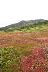 チングルマの草紅葉が続く