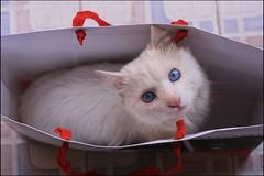 pet shopping (Nganguyen) Tags: blue portrait pet cat eyes vietnam explore nganguyen gettyimagessoutheastasiaq1