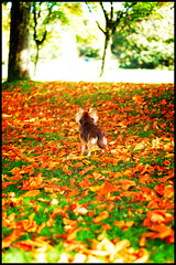 Autumn (Natures Optimist) Tags: autumn red dog brown chihuahua fall leaves yellow chocolate small tan cream ilkley ornage
