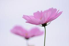 heart cosmos (miwa**) Tags: pink flower macro nature nikon nikkor 2008 cosmos miwa d90 105mmf28dmicro nikond90