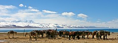 Tibetan horses in front of Lake Nam Tso (5200m) (GigoloArt) Tags: