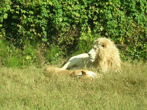 Leone bianco - Parco Natura Viva
