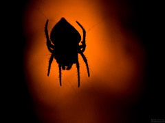 Arachtober 28 - Spooky Silhouette (jciv) Tags: desktop wallpaper orange black macro halloween silhouette spider scary arachnid creepy spooky raynox set:name=bugs bloggedhalloween file:name=img2613 file:name=dsc09388