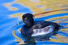 FIMG_7369 (Alfred Koppel) Tags: fab bird perfect photographer shield ente soe vogel watcher excellence the blueribbonwinner of reiherente mywinners worldbest platinumphoto anawesomeshot colorphotoaward ultimateshot avianexcellence ishflickr theunforgettablepictures