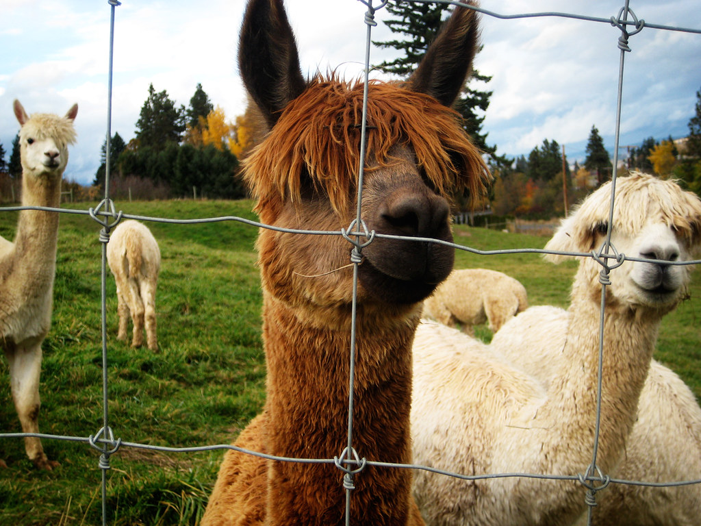 Friendly-Alpacas