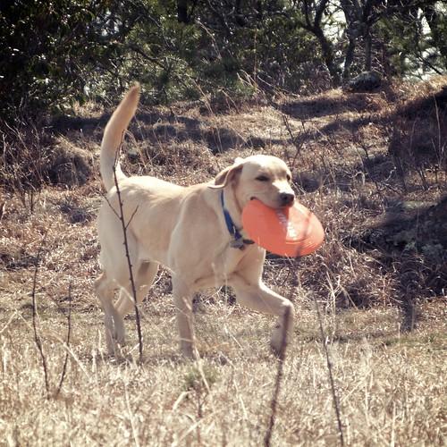 Labradors #1