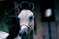 Qatar Earth :  Nbras Al-Zabor descendants ( Marwan Al- Shaqab  Stall Al-Zubara The most beautiful horses in the world)    .......           (      )   . -   (Qatar Earth  ) Tags: world horses beautiful al earth stall most   marwan qatar the alzubara  descendants    shaqab      nbras alzabor