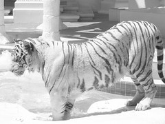Black and (White Tiger)