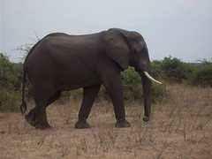 Majesty (volleyballmojo) Tags: elephant beauty african zambia majesty