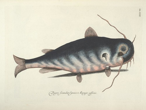 Bagre Secundae Speciei Marggr. affinis