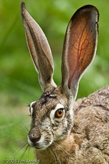 Western_blacktail Jackrabbit (Jim Arnold (jga154)) Tags: nature bokeh wildlife rabbits mammals swr westernblacktailjackrabbit jga154