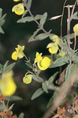 Calceolaria engleriana (Calceolariaceae)