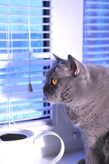 Plushka: watching snowstorm raging outside (Svetlana Serdiukova) Tags: blue white window cat nikon snowstorm windy blinds snowing nikkor blizzard britishshorthair wateringpot d300 tiggra15 1755mmf28d plushka svetlanaserdiukova
