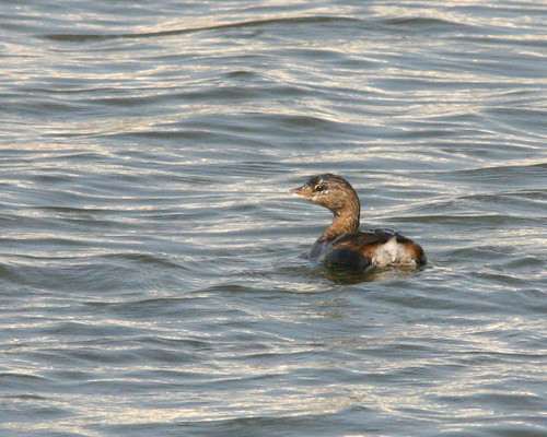 Pied-billed Grebe 20081122