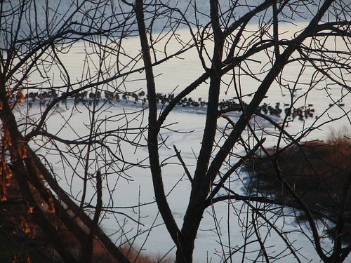 Geese on the sandbar at dawn, 11/23/08