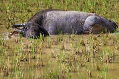 Una tarde en el Spa (Llum Endins) Tags: water buffalo ricefield fiatlux 5photosaday llumendins lifetravel