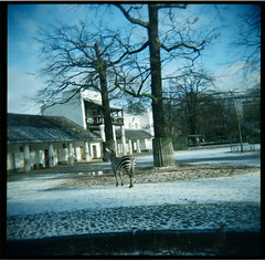 Zebra (Squid Ink) Tags: berlin germany holga zebra berlinzoo