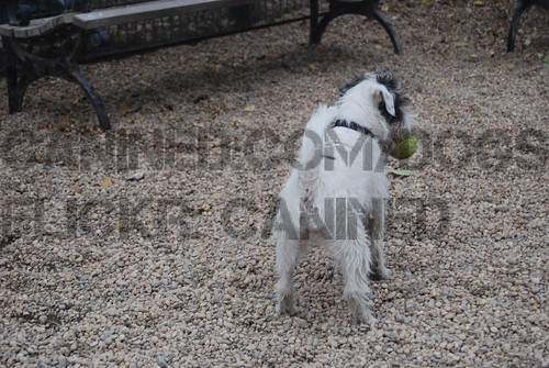jack russell terrier. long hair
