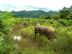 Toomai of the Elephants (Bn) Tags: elephant reflection festival trekking wildlife conservation riding conflict mowgli laos society reduce the mahout mahouts wcs iucn asianelephants thejunglebook youngjungleboy elephanthandler landofamillionelephants theelephantschild littlemahout storieswrittenbyrudyardkipling toomaioftheelephants ayoungelephanthandler significantforestareasoflaos laoselephant elephanthabitatloss only700wildelephants theinternationalunionfortheconservationofnature elephantthreatenedwithextinction protecttheasianelephant laoselephantattracttourist humanelephant