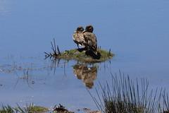 Marreca-parda (Anas georgica) (Jacques Klein) Tags: brazil birds brasil aves riograndedosul sãofranciscodepaula anasgeorgica marrecaparda brownpintail