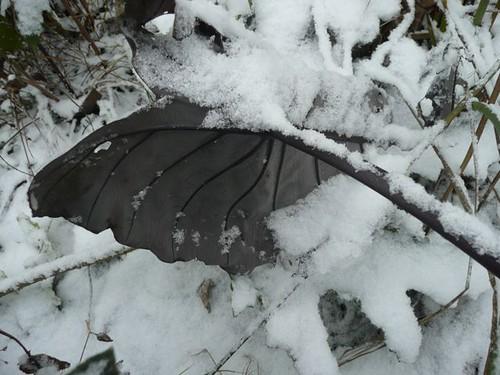 Colocasia black magic in snow