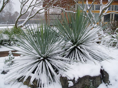 Nolina snow