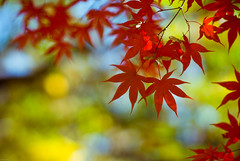 foliage08-9 (jykthemuse) Tags: autumn trees red color tree nature leaves nikon asia dof f14 85mm korea nikkor bundang fis joon    85mmf14 adobelightroom d80 bokehlicious  jykthemuse selectiveconceptualdof  joonyoungkim