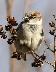 House Sparrow (AllHarts) Tags: housesparrow breathtaking housesparrows top20birds avianexcellence excellenceinavianphotography tennesseewildlife feathersbeaksbirds enarmoniaconlanaturaleza alittlebeauty pogchallengewinnershalloffame rainbowelite