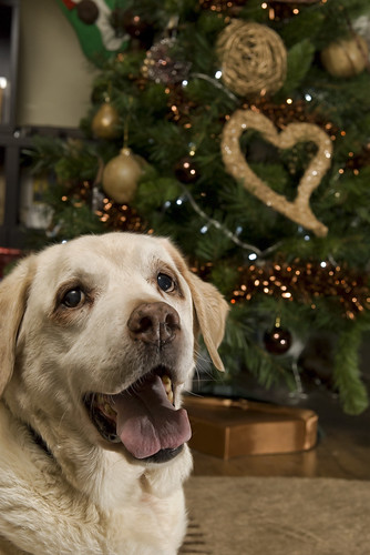 sam the labrador at christmas