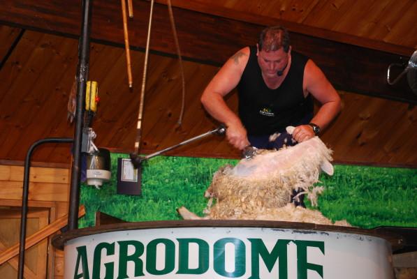 sheep_sheering_2_1