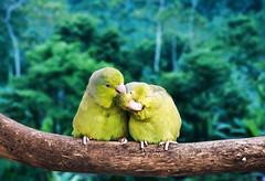 Love and Happiness (Karnevil) Tags: southamerica nature ecuador nikon lovebirds d300 greenparrots amazonjungle naporiver avianexcellence vosplusbellesphotos