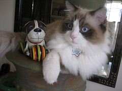 My Baby's Blues (Pearl is a Girl) Tags: blue baby cat toy eyes kitten fluffy ragdoll bestofcats