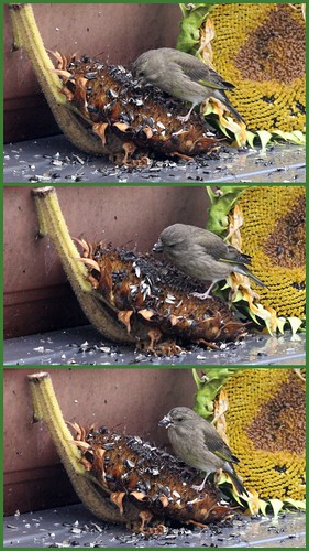 Greenfinch on Sunflower Head