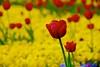 Rote Tulpe vor gelben Stiefmütterchen