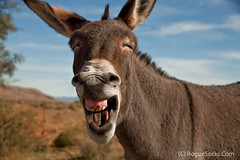Wild-Burro-braying-in-Red-Rock-Canyon-national-conservation-area-Nevada-007.jpg (RogueSocks) Tags: redrockcanyon usa weather animal day desert lasvegas nevada donkey sunny clear burro jackass nevadadesert bluediamond bonniesprings wilddonkey braying timeofday wildburro springmountainranchstatepark nevadastatepark nevadausa redrockcanyonnevada redrockcanyonlasvegas redrockburro redrockcanyonvegas nevadawildburro wildjackass