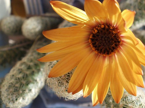 yellow flower and cactus