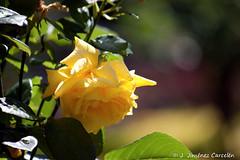 Rosa Amarilla (By  Jess Jimnez) Tags: naturaleza portugal canon photography flora flor rosa jc braga jess rosaamarilla enflor repblicaportuguesa 450d canon450d canoneos450d kdds n309 kddsvigo jessjimnezcarceln estradanacional309 jessjcphotography