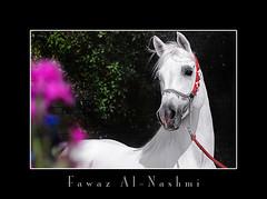 baitalarab   (Fawaz Al Nashmi) Tags: horse art animal photo head arab kuwait stallion fawaz       funzy           alnashmi  funzyclick baitalarab