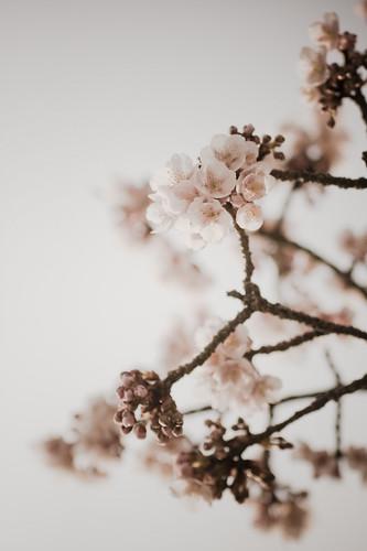 sakura : cherry blossom