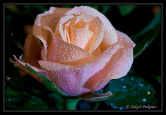Rose with WaterDrops - Macro 1:2 (Jakub Pukovec) Tags: pink detail macro green water leaves rose canon wonderful lens drops nice waterdrop bright awesome great super 100mm fenix usm 12 lovely waterdrops shining brilliant extra f28 ef pinkrose lightened canonef100mmf28usmmacro canonef100mmf28macrousm goldenmix canoneos400d macro12 incrediblenature