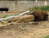 Sleeping Lion  - Tulsa Zoo