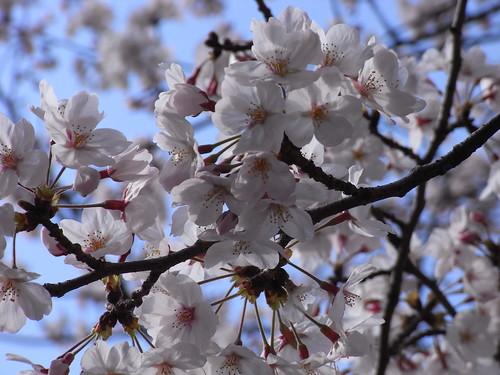Sakura, fine day