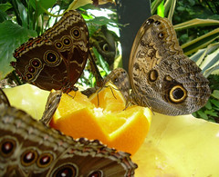 Butterflies enjoying an orange
